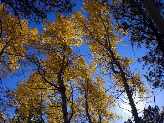 Pohon Quaking Aspen