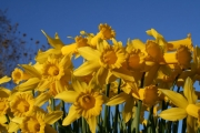 Bunga Daffodils